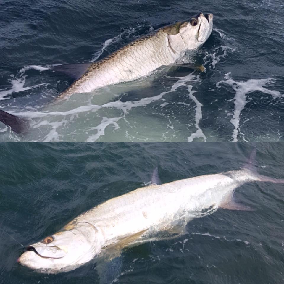 Tampa bay inshore tarpon fishing fishing charters st for Deep sea fishing tampa